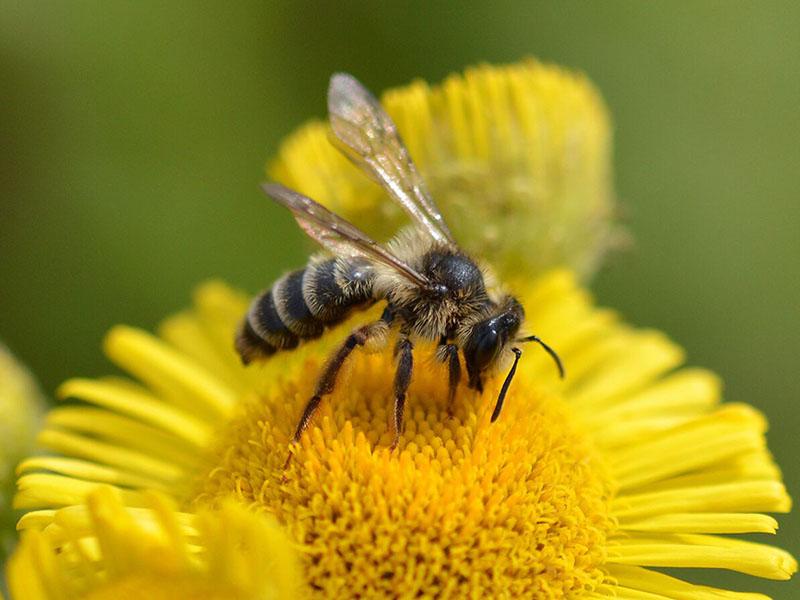 bees, nature, wildlife, flower, mine, coal tips