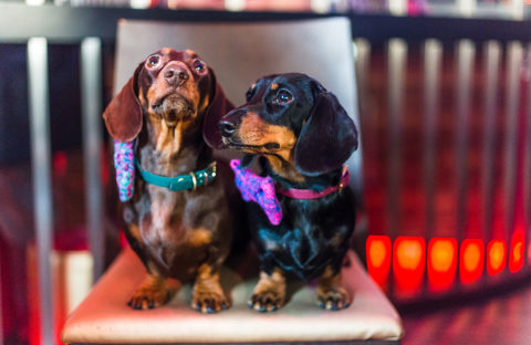 Two dogs sit on a stool at a dog-friendly event wearing brightly coloured bows